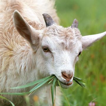Дегельминтизация коз и овец