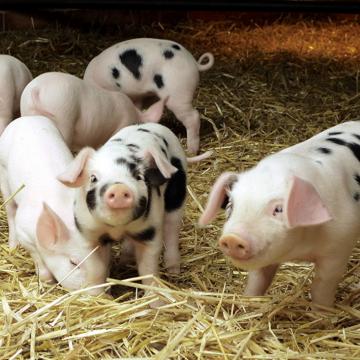 Микотоксины - опасность для свиноводства