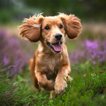 Опасность пироплазмоза (бабезиоза) для собак