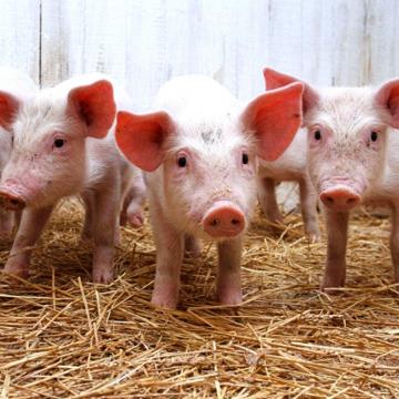 Прибыльное свиноводство 2021