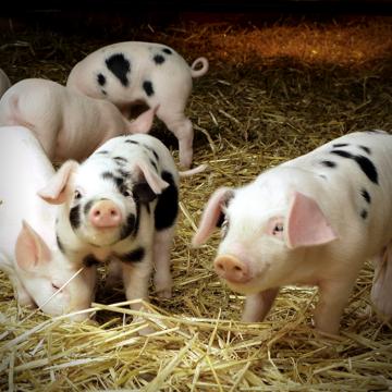 Сальмонеллёз свиней