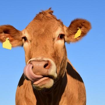 Отёл коров и их заболевания