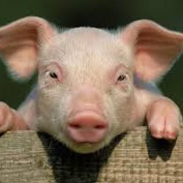 Приглашаем посетить стенд компании «Ветсинтез» на «Прибыльном свиноводстве»